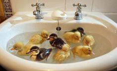 ducklings swimming in a sink