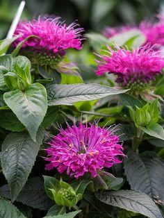 "Monarda Pardon My Purple; full sun to 12"" tall; zone2 4-9; grow it with a butterfly bush; Provenwinners.com"