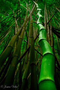 Bamboo Bend, Hawaii