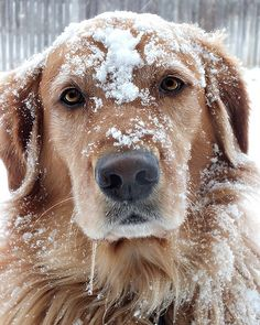 snowy golden Wyatt is such a trooper. Anything for a treat  :)  imthinkingoutloud