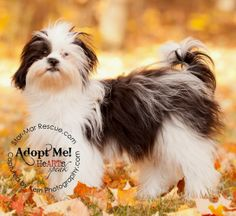 Hannah is an adoptable Shih Tzu Dog in Wooster, OH. Hannah is an adorable 8 month old Shih Tzu mix puppy.  She came to us from a woman who became ill and had too many dogs.  Hannah is a doll.  She wei...