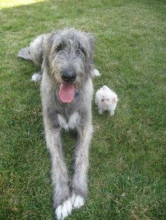 Seamus, an Irish Wolfhound, with Callie a Maltipoo. I'll take Seamus