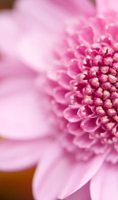 Pretty pink flower pretti pink, pink close, pink flowers, ray flower, pink ray, pink pink, pink magnolia, thing