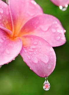Pink/yellow Plumeria with reflection in water drop..beautifully tropical... water drops, flower pictur, pink plumeria, fathers, beauty, beauti bloom, flowers, garden, beauti flower