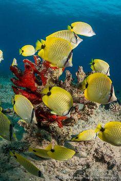 #yellow #butterflyfish