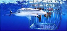 Swim with sharks, in a cage of course.