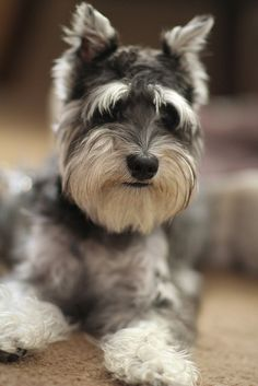 Mini schnauzer:...LOVE THAT FACE!!!