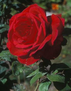 'Mr. Lincoln' Hybrid Tea Rose