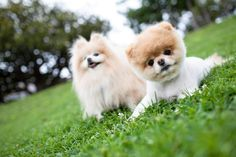 Cute looking boo and pomeranian relaxing in the garden!