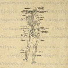 Printable Human Skeleton Diagram Graphic Download Image Medical Anatomy Digital Vintage Clip Art. High resolution printable digital illustration for making prints, iron on transfers, papercrafts, tote bags, t-shirts, pillows, and many other uses. Personal or commercial use. This digital image is high quality, large at 8½ x 11 inches. Transparent background PNG version included.