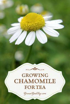 Growing Chamomile for Tea | Grow a Good Life
