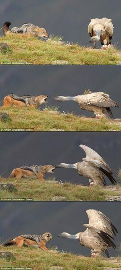 Jackal vs. Vulture