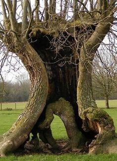 ✯ Ancient Ash Pollard tree