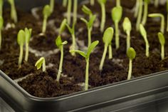 Starting Seeds | Stretcher.com - How to start seeds indoors