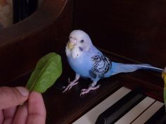 What kind of food is safe for budgies?