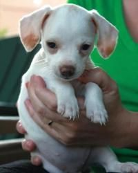 Peanut is an adoptable Dachshund Dog in Orlando, FL. Peanut is a Dachshund / Chihuahua blend puppy girl.  Peanut was born on February 28 th .  Peanut is just that…a little Peanut with white spots on h...Please click on pic for additional info on this dog