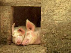 peek farmhous, houses, belov anim, animal facts, dream hous