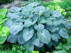 Hosta (this is Blue Angel but there are hundreds of types available in many size and color combinations)