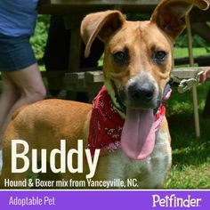Buddy's ears are perked for finding love and a new home! Click through to learn more about this Hound & Boxer mix.