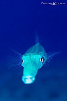 Cornetfish by Benthichi
