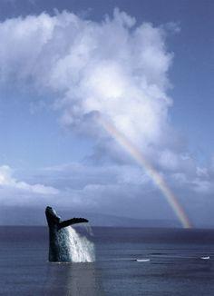 Maui Rainbow and whale watching :)