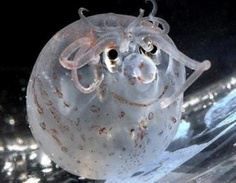 This is a rarely photographed piglet squid.  Its tentacles and skin patterns have formed the shape of a small smiling face with what looks like curly locks on his head.  These squids are really small and live so deep in the ocean that they are rarely seen.