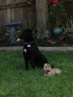 """Faith and Striker, adopted from Humane Society of Pinellas – Clearwater, FL: """"Faith and Striker...fast friends, buddies and pals, saved by a family that will love them forever!"""""""