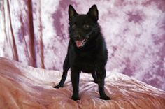 Diamond Petfinder Adoptable | Dog | Schipperke | Dallas, TX | Diamond