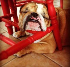 I know I'm pretty #english #bulldog