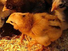 Araucanas - blue egg chickens