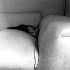 {kitten} by mapplethorpe