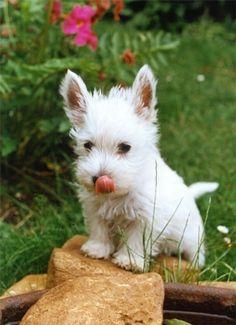 ~ another Westie pup! ~
