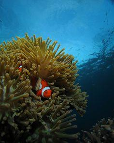 Clownfish Pemuteran