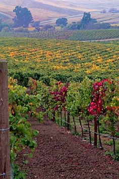 Napa Valley, Vineyards, California