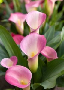 Light pink calla lilies: all year  $$