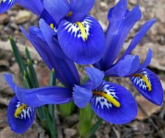 Iris Reticulata ... and yes, they really are *that* blue!