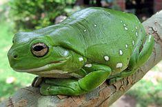 Green Frog | Australian Green Tree Frog fat frog, white tree, tree frogs, green tree