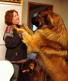 The Leonberger is a breed of large dog. The breed's name derives from the city of Leonberg in Baden-Württemberg, Germany. According to legend, the Leonberger was ostensibly bred as a 'symbolic dog' that would mimic the lion in the town crest.