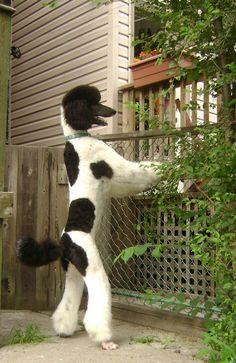 Standard parti color poodle