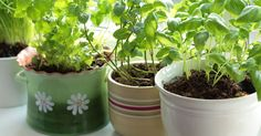 Green Yatra Blog 8 Magical Herbs You Can Grow At Home Easily. - Green Yatra Blog