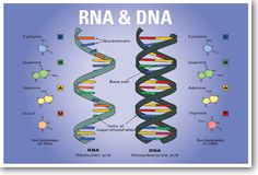 DNA & RNA Biology NEW CLASSROOM BIOLOGY SCIENCE POSTER