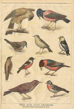 birds || le petit journal 31 jan 1897