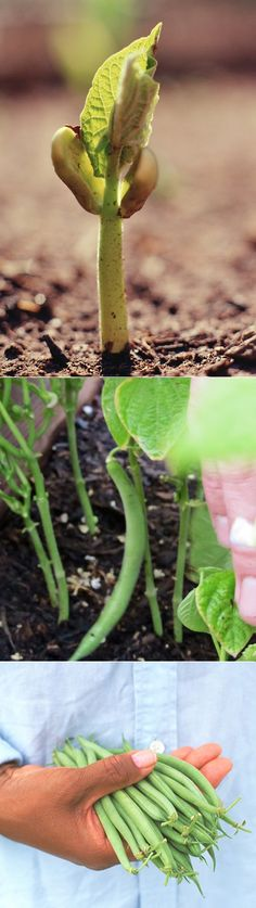 Alternative Gardning: How to Grow Beans