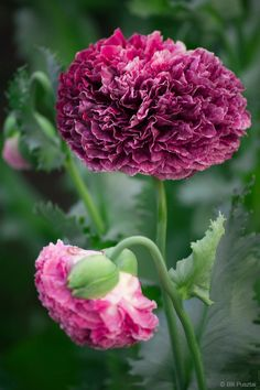Papaver somniferum 'Flemish Antique' ornamental poppy.