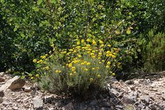 Helichrysum Species-What's the Difference?