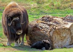 musk ox mom and her little one !!!!