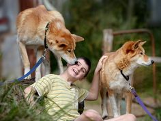 Healesville Sanctuary offering young kids to be keeper for a day with dingoes.