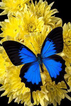 Blue butterfly on poms