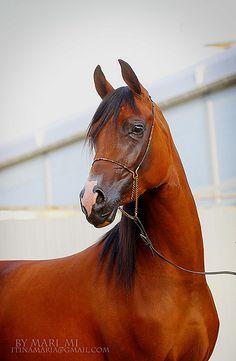 Egyptian Arabian