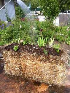 Alternative vegetable garden -- Straw bale gardening, easy and inexpensive